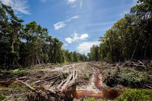 Week in wildlife:  peatland forest being cleared for a palm oil plantation, Aceh province