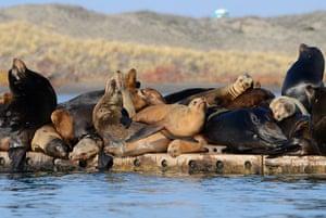 Week in wildlife: Sea lions sleep in a large pile, Moss Landing, California