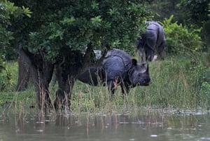 Week in wildlife: One horned rhinoceros in flooded Pobitora wildlife sanctuary, Assam, India