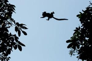 Week in wildlife: A wild marmoset (Callithrix jacchus) jumps between trees in Rio de Janeiro