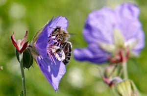 Week in wildlife: A bee collects pollen from a flower at Vaclav Havel Airport in Prague