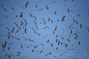 Week in wildlife: Storks pass over Jerusalem