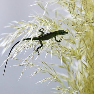Week in wildlife: Green Anole Lizard Hangs Out In Pampas Grass In New Orleans
