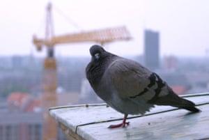 Alternative Germany: quizzical pigeon