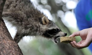 A raccoon is offered a 'treat' to celebrate a mid-autumn festival in Kunming, China.