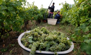 Harvesting grapes at the 'Mas de Chimeres' organic vineyard in Octon, in the south of France.
