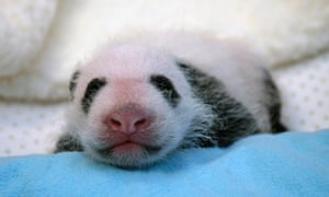 The giant panda cub born at the Smithsonian's National Zoo in August receives her first veterinary exam in Washington.