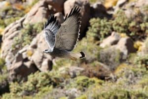 Andes crossing: Hawk, Andes