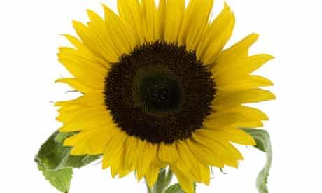 The Measure: sunflowers