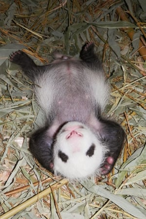 A giant panda cub born is seen at the Schoenbrunn Zoo in Vienna, Austria. Vienna's  zoo confirmed that the giant panda cub, the third birth by a panda couple who have lived in Vienna for over 10 years, was male.