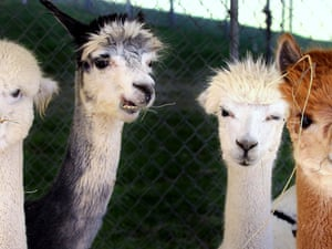 Four alpacas eat during the second day of the Kern County Fair in Bakersfield, California, US.