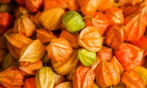 Decorative physalis on sale as decorations for autumn at the weekly market in Bamberg, Germany.