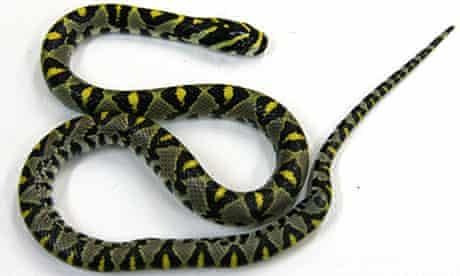 Mandarin rat snake Qantas flight