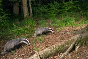 Big Pic - Badgers: badgers in forest