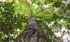 American chestnuts