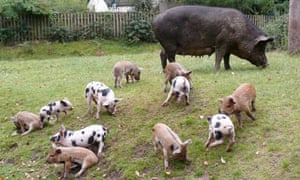 Pigs forage in the New Forest