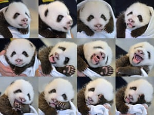 We're not giving you one cute panda picture today but twelve! This combination photo shows one of giant panda Lun Lun's newly-born twin cubs at the Atlanta Zoo, US.