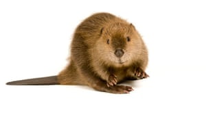 Beaver posing