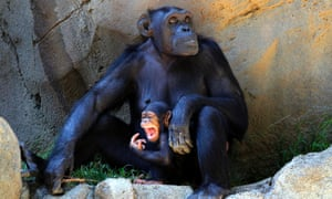 A baby chimpanzee holds to her mother as they stay in the shade to avoid the hot weather at Los Angeles Zoo and Botanical Gardens, US.