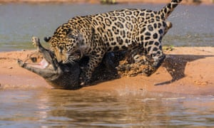 A male jaguar attacks a Yacare caiman in Pantanal, Brazil. The jaguar ambushed the caiman before dragging it back across the water and into the jungle.
