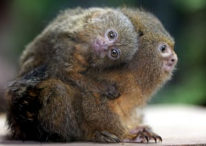 A pygmy marmoset monkey carrying a baby on its back in the rainforest themed zone of the Ocean Park in Hong Kong. Pygmy marmosets are the smallest monkeys in the world and are native to the rainforests of the Amazon Basin in South America.