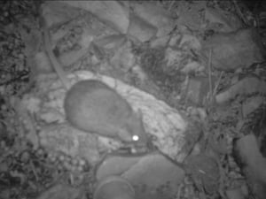 The critically endangered central rock rat, found on Aboriginal land outside of Alice Springs, central Australia