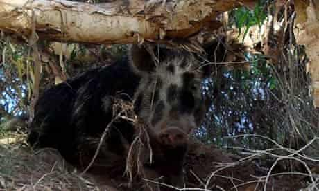 feral pig which has reportedly gone on a booze-fuelled bender
