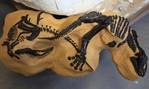 Montana Duelling Dinosaurs fossil