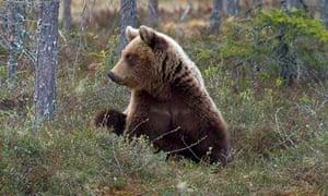 Brown bear in Finland