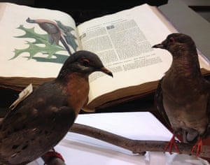 Martha reads up on passenger pigeons