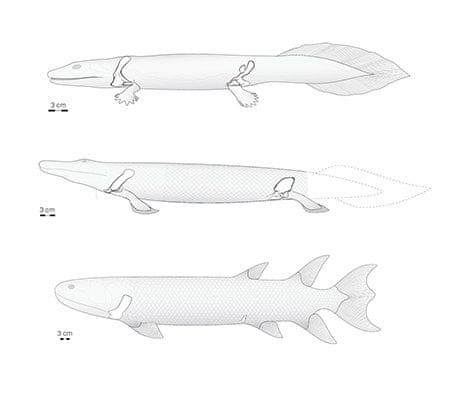 Tiktaalik Fossils Reveal How Fish Evolved Into Four Legged Land