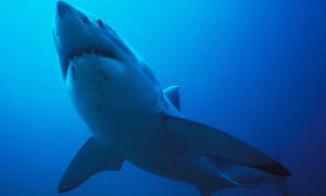 Great white sharks have been blamed for a series of deadly attacks along the Western Australian coastline. The state government now has plans to set baited hooks and cull sharks over three metres.
