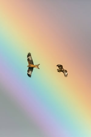 Over the rainbow: A Red Kite and a Buzzard in flight over the Red Kite centre, Rhayader, Wales earlier this month. Photographer Drew Buckley captured this image while hosting a photography workshop.