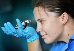A baby turtle injured by a car being cared by staff at Reef HQ in Townsville, Australia. He is the latest in a string of hatchlings injured since November along a busy seaside strip known as the the Strand.