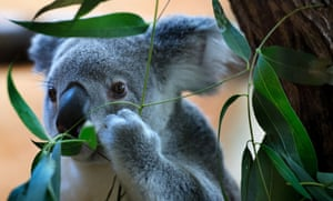 A Koala called Mullaya keeps on munching during the annual inventory at Dresden zoo, Germany.