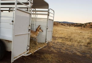 A pronghorn peers out of the back of a trailer as it is released onto Forest Service land outside of Fort Stanton, near Capitan, New Mexico.