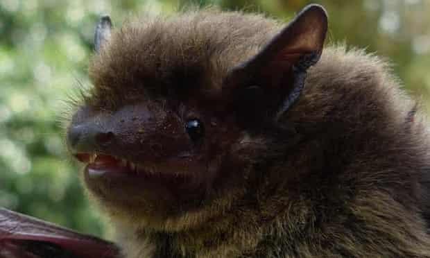 Nathusius' pipistrelle bat