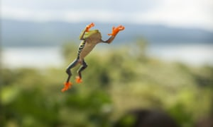 A red-eyed tree frog takes a leap.