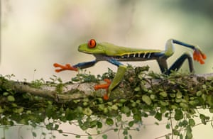 A red-eyed tree frog crawls on the tree branch in Sarapiqui, Costa Rica.