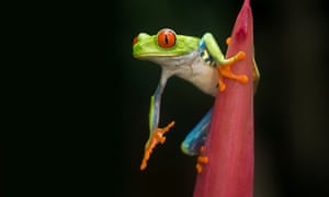 A red-eyed tree frog about to make its leap in Sarapiqui, Costa Rica.