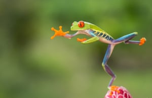 Karate frog: A red-eyed tree frog gets ready to make a jump in Sarapiqui, Costa Rica.