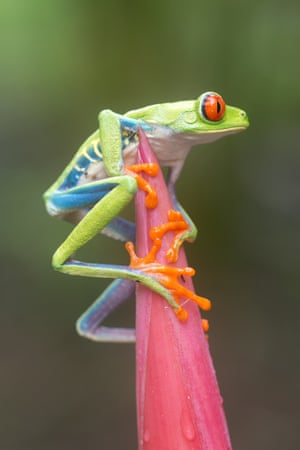 A red-eyed tree frog gets ready to make its leap in Sarapiqui, Costa Rica.