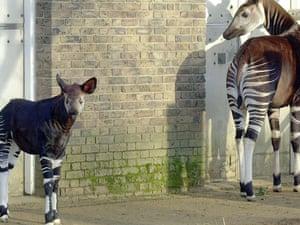 A couple of Okapis at London Zoo.