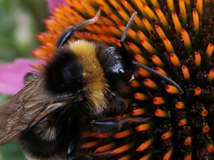 Bumblebees could be shrinking because of exposure to a widely-used pesticide, a study suggests.