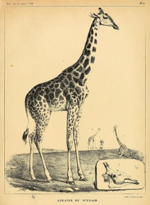 Zarafa as she appears in Geoffroy Saint-Hilaire's account of her journey.