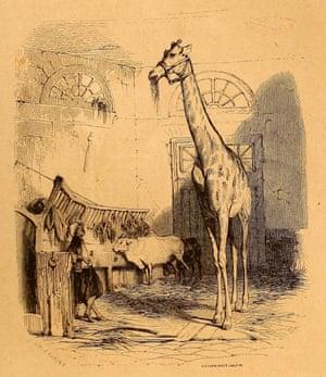 Zarafa in her stable in Paris