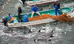 The annual dolphin hunt in Taiji, Japan