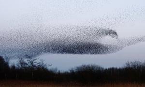 Murmuration of starlings on Middleton Moor near Stoney Middleton Derbyshire