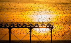Murmuration of starlings in Aberystwyth, Wales