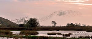 Starling Murmaration at Leighton Moss